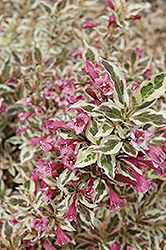 My Monet® Weigela (Weigela florida 'Verweig') at Tree Top Nursery & Landscaping