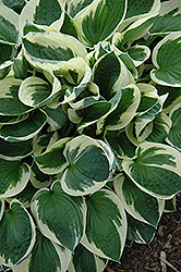 Patriot Hosta (Hosta 'Patriot') at Tree Top Nursery & Landscaping