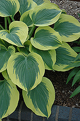 Liberty Hosta (Hosta 'Liberty') at Tree Top Nursery & Landscaping
