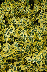 Emerald 'n' Gold Wintercreeper (Euonymus fortunei 'Emerald 'n' Gold') at Tree Top Nursery & Landscaping