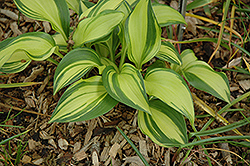 Rainbow's End Hosta (Hosta 'Rainbow's End') at Tree Top Nursery & Landscaping
