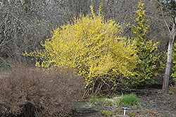 Northern Gold Forsythia (Forsythia 'Northern Gold') at Tree Top Nursery & Landscaping