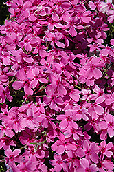 Red Wings Moss Phlox (Phlox subulata 'Red Wings') at Tree Top Nursery & Landscaping