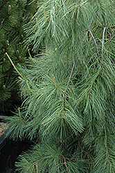 Weeping White Pine (Pinus strobus 'Pendula') at Tree Top Nursery & Landscaping