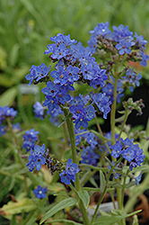 Blue Angel Summer Forget-Me-Not (Anchusa capensis 'Blue Angel') at Tree Top Nursery & Landscaping
