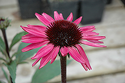 Big Sky After Midnight Coneflower (Echinacea 'Big Sky After Midnight') at Tree Top Nursery & Landscaping