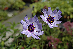 Cupid's Dart (Catananche caerulea) at Tree Top Nursery & Landscaping