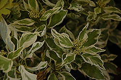 Creme de Mint Tatarian Dogwood (Cornus alba 'Crimzam') at Tree Top Nursery & Landscaping