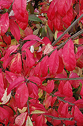 Fire Ball® Burning Bush (Euonymus alatus 'Select') at Tree Top Nursery & Landscaping