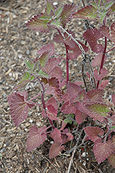 Catnip (Nepeta cataria) at Tree Top Nursery & Landscaping