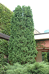 Pyramidal Arborvitae (Thuja occidentalis 'Pyramidalis') at Tree Top Nursery & Landscaping