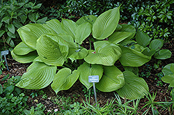 Sum and Substance Hosta (Hosta 'Sum and Substance') at Tree Top Nursery & Landscaping