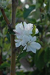 Whitney Flowering Crab (Malus 'Whitney') at Tree Top Nursery & Landscaping