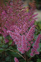 Maggie Daley Astilbe (Astilbe chinensis 'Maggie Daley') at Tree Top Nursery & Landscaping