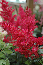 Montgomery Japanese Astilbe (Astilbe japonica 'Montgomery') at Tree Top Nursery & Landscaping