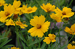Baby Sun Tickseed (Coreopsis lanceolata 'Sonnenkind') at Tree Top Nursery & Landscaping