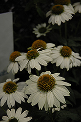 PowWow White Coneflower (Echinacea purpurea 'PowWow White') at Tree Top Nursery & Landscaping