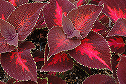 ColorBlaze® Kingswood Torch Coleus (Solenostemon scutellarioides 'Kingswood Torch') at Tree Top Nursery & Landscaping