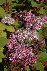 Double Play® Big Bang™ Spirea (Spiraea 'Tracy') at Tree Top Nursery & Landscaping