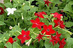 Saratoga Mix Flowering Tobacco (Nicotiana 'Saratoga Mix') at Tree Top Nursery & Landscaping
