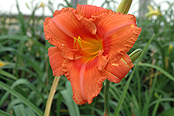 South Seas Daylily (Hemerocallis 'South Seas') at Tree Top Nursery & Landscaping