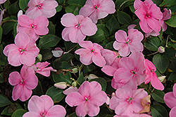 Super Elfin® XP Pink Impatiens (Impatiens walleriana 'Super Elfin XP Pink') at Tree Top Nursery & Landscaping