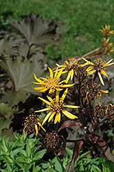 Osiris Cafe Noir Rayflower (Ligularia 'Osiris Cafe Noir') at Tree Top Nursery & Landscaping