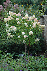 Limelight Hydrangea (tree form) (Hydrangea paniculata 'Limelight (tree form)') at Tree Top Nursery & Landscaping