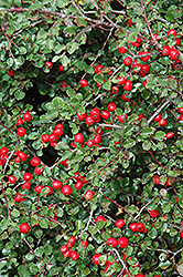 Cranberry Cotoneaster (Cotoneaster apiculatus) at Tree Top Nursery & Landscaping