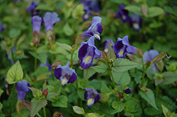 Indigo Moon Torenia (Torenia 'Indigo Moon') at Tree Top Nursery & Landscaping