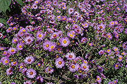 Woods Purple Aster (Aster 'Woods Purple') at Tree Top Nursery & Landscaping
