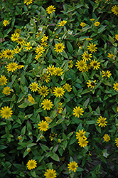Sunny Trailing Creeping Zinnia (Sanvitalia procumbens 'Sunny Trailing') at Tree Top Nursery & Landscaping