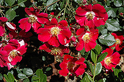 Oso Easy® Cherry Pie Rose (Rosa 'Meiboulka') at Tree Top Nursery & Landscaping