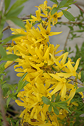 Gold Tide Forsythia (Forsythia x intermedia 'Gold Tide') at Tree Top Nursery & Landscaping