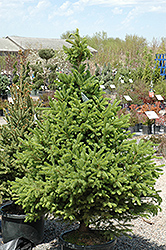 North Star Spruce (Picea glauca 'North Star') at Tree Top Nursery & Landscaping