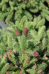 Pusch Spruce (Picea abies 'Pusch') at Tree Top Nursery & Landscaping
