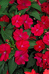 SunPatiens® Compact Royal Magenta New Guinea Impatiens (Impatiens 'SunPatiens Compact Royal Magenta') at Tree Top Nursery & Landscaping