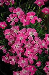 Kahori Pinks (Dianthus 'Kahori') at Tree Top Nursery & Landscaping