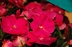 Super Sonic® Hot Pink New Guinea Impatiens (Impatiens hawkeri 'Super Sonic Hot Pink') at Tree Top Nursery & Landscaping