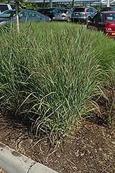 Ruby Ribbons Switch Grass (Panicum virgatum 'Ruby Ribbons') at Tree Top Nursery & Landscaping