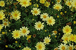 Butterfly Marguerite Daisy (Argyranthemum frutescens 'Butterfly') at Tree Top Nursery & Landscaping