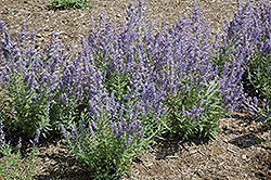 Lacey Blue Russian Sage (Perovskia atriplicifolia 'Lacey Blue') at Tree Top Nursery & Landscaping