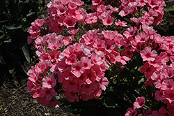 Light Pink Flame Garden Phlox (Phlox paniculata 'Bareleven') at Tree Top Nursery & Landscaping