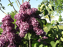 Monge Lilac (Syringa vulgaris 'Monge') at Tree Top Nursery & Landscaping