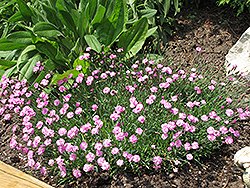 Tiny Rubies Dwarf Mat Pinks (Dianthus gratianopolitanus 'Tiny Rubies') at Tree Top Nursery & Landscaping