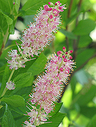 Ruby Spice Summersweet (Clethra alnifolia 'Ruby Spice') at Tree Top Nursery & Landscaping
