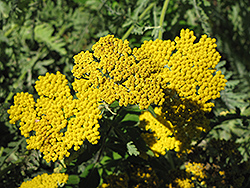 Coronation Gold Yarrow (Achillea 'Coronation Gold') at Tree Top Nursery & Landscaping