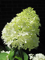 Limelight Hydrangea (Hydrangea paniculata 'Limelight') at Tree Top Nursery & Landscaping