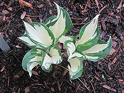 Christmas Candy Hosta (Hosta 'Christmas Candy') at Tree Top Nursery & Landscaping