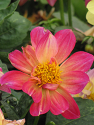 Dahlinova Hypnotica® Tropical Breeze Dahlia (Dahlia 'Hypnotica Tropical Breeze') at Tree Top Nursery & Landscaping